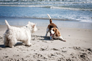 Dog beagle sea